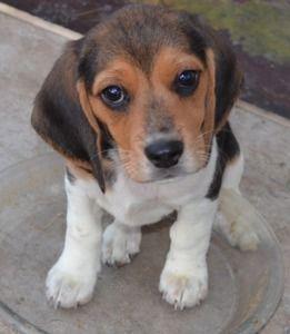 Tricolor Beagle Puppy Beaglepuppy Beagle Puppy Adoptable