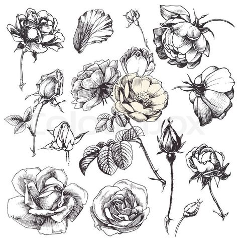 Stock vector ✓ 14 M images ✓ High quality images for web & print | Vintage clip art illustrations of hand drawn rose flower isolated on white background...
