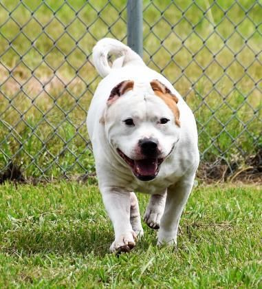 Adopt Tank On American Bulldog Mix Foster Animals Adoption