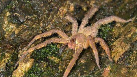 Cette araignée peut provoquer une érection de quatre heures