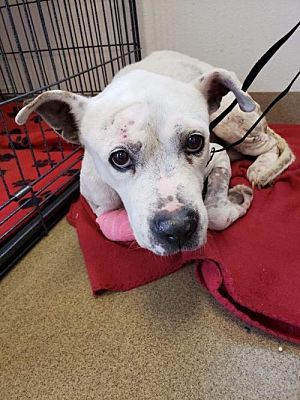 New York Ny American Staffordshire Terrier Meet Rocko A Pet For Adoption Injured Senior Dogs Pet Adoption What Cats Can Eat