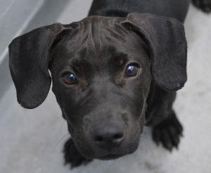 Adopt Dodo On Labrador Retriever Dog Retriever Dog Labrador Mix