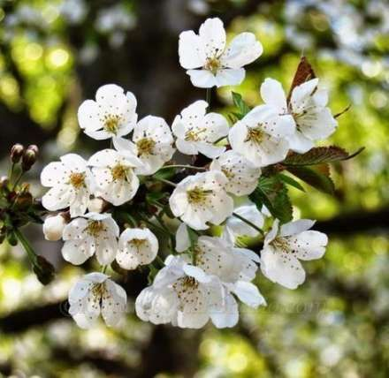 Best Fruit Trees Photography Cherry Blossoms 47 Ideas White Cherry Blossom Fine Art Photo Prints Tree Photography