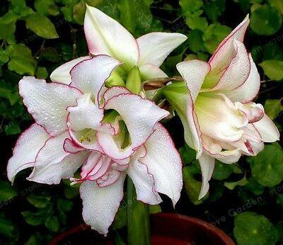 Amaryllis Bonsai Bulbs Barbados Lily Not Seeds Balcony Flower Hippeastrum Bulb Amaryllis Origin For Peru And Brazil No Amaryllis Bulbs Bulb Flowers Amaryllis