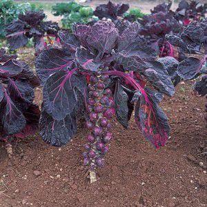 Red Rubine Brussels Sprouts Cabbage Seeds Heirloom Vegetables Organic Vegetable Seeds