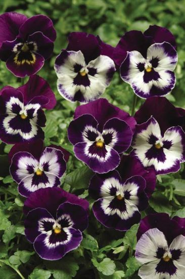 Panola Purple Face Pansy Pansies Flower Seeds Purple