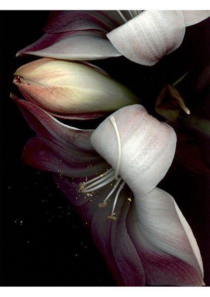 Lilies ( Amaryllis/Daylily )