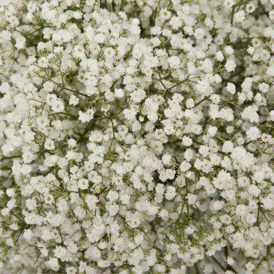 Sams 89 Gypsophila Galaxy 5 Or 10 Bunches Wedding Flowers Roses Gypsophila Wedding Bulk Flowers Online