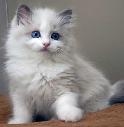 Cats And Kittens Image By Cathie Cook Ragdoll Cat Ragdoll Kitten Cats