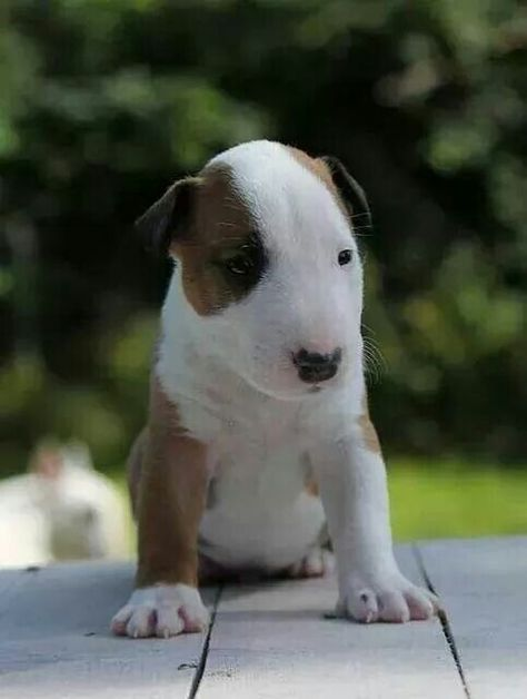 #Bully #Puppy