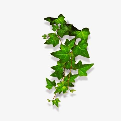 Ivy Vines Vine Clipart Creeper Vine Png Transparent Clipart Image And Psd File For Free Download Creepers Plants Watercolor Leaves Ivy Vine