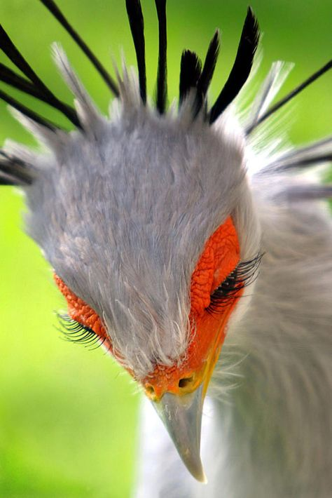 Reminds me of Ffoulkes… Eyelash Envy. Secretary bird (Sagittarius serpentarius… Reminds me of Ffoulkes… Eyelash Envy. Secretary bird (Sagittarius serpentarius) Photo: Rudi Luyten on Rare Animals, Animals And Pets, Funny Animals, Exotic Animals, Funny Birds, Wild Animals, Exotic Birds, Colorful Birds, Colorful Animals