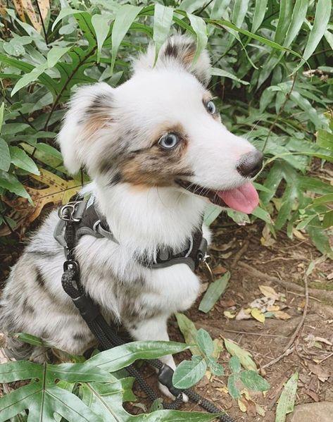 Now for your regular dose of adventure puppy cuteness. Here is @keothepup   Keo is a little pup on big adventures in our Black Adventure Dog Harness         #embarkpets  #traildog #adventuredog #dogswhohike #hikingwithdogs #campingwithdogs #campingdog #hikingdog #traveldog #wilddog #ilovemydog #dogsonadventures #dogsofinstagram #wolfdog #runningdog #adventuredogs  #aussieshepherd #aussieshepard #aussiesofinsta #bluemerle #miniaussie #miniaussies #miniaussiepuppy #shepherddog