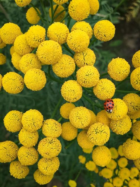 Just a humble flowering Tansy (Tanacetum vulgare) feat. a ladybug  #gardening #garden #DIY #home #flowers #roses #nature #landscaping #horticulture
