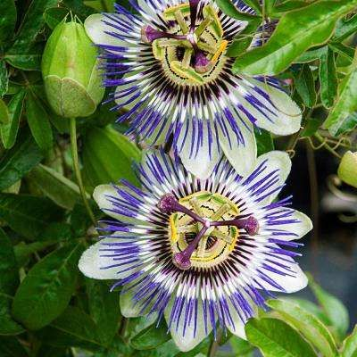 Image Result For Images Of Tropical Plants Blue Passion Flower Passion Flower Passion Fruit Plant