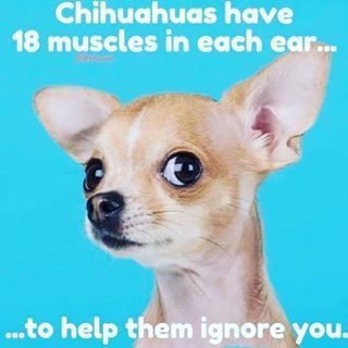 Chihuahua Meme Neurotic Dog Dogs Dog Barking Funny Pictures