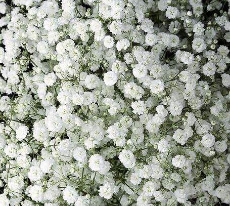 Baby S Breath Flowers Bulk Flowers J R Roses Wholesale Flowers In 2020 Babys Breath Flowers Babys Breath Fresh Flower Delivery