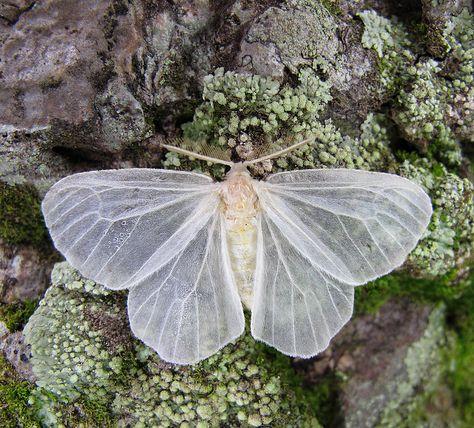blackkittenclan: A Translucent Moth alights in Yenzi, Gabon, west Africa (photo: Derek Korte) Beautiful Bugs, Beautiful Butterflies, Art Papillon, Moth Caterpillar, Bugs And Insects, Beetles, Faeries, Beautiful Creatures, Mother Nature