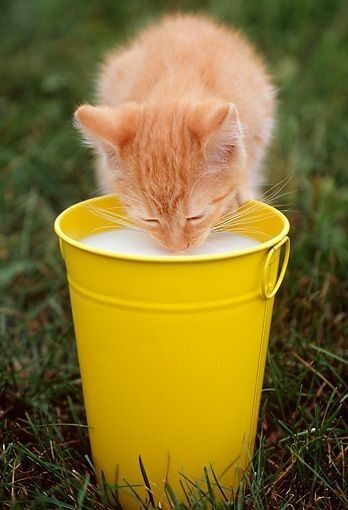 Lactose Intolerance Why Milk Is Bad For Cats Cat Facts Kitten Care Cat Drinking