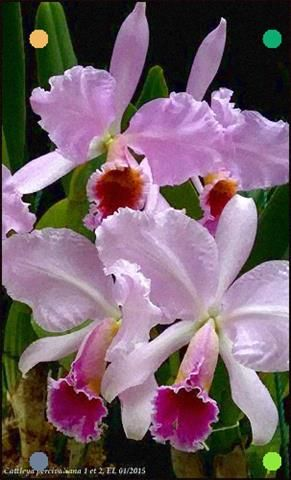 Cattleya Percivaliana Par Eric Cattleya Percivaliana Par E Flickr Orchid Flower Amazing Flowers Beautiful Orchids