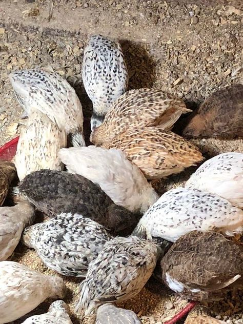 24 Falb Fee Eggs Rare Quail Hatching Eggs