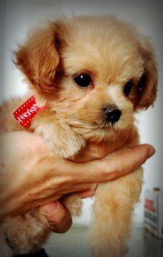 Maltipoo Puppy For Sale In Houston Tx Adn 58287 On Puppyfinder Com Gender Female Age 8 Weeks Old Maltipoo Puppies For Sale Maltipoo Puppy Puppies For Sale