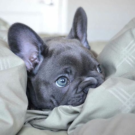 """Discover more information on """"french bulldog puppies"""". Have a look at our internet site. Cãezinhos Bulldog, English Bulldog Puppies, Funny Bulldog, Baby Bulldogs, English Bulldogs, Cute Little Animals, Cute Funny Animals, Beautiful Dogs, Animals Beautiful"""