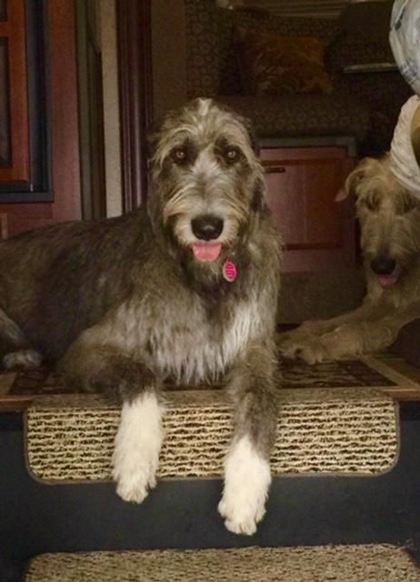 Irish Wolfhound Hello Pin Pals You Found Us Yay We Love Cats