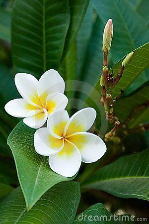 Frangipani Tropische Blumen Ich Mag Es Tropische Blumen Zu Sehen Und Zu Riechen Wenn Ich Reise Blumen Fran Plumeria Flowers Amazing Flowers Love Flowers