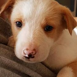 Denver Colorado Shepherd Unknown Type Mix Meet Conner A For Adoption Https Www Adoptapet Com Pet 21727562 Denver Co Pets Kitten Adoption Dog Adoption