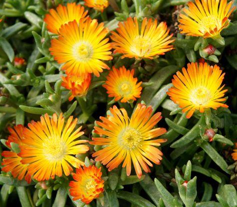 Delospermas Orange Wonder Plante Jardin Plante Succulente