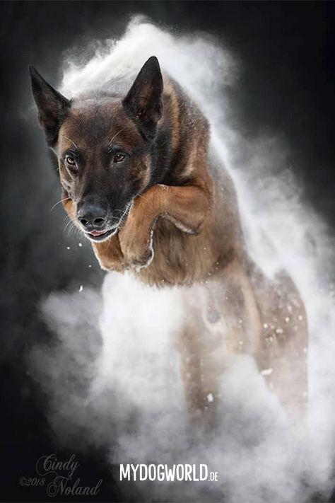 Belgischer Schaferhund Welpe Belgian Malinois Puppy Dog Puppy