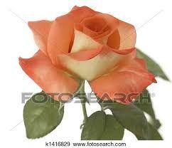 شجرة المشمش شىء على شكل وردة ألبوم الصور K1416829 Plants Rose Flowers