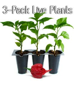 Live Carolina Reaper Plants 3 Pack With Images Hot Peppers