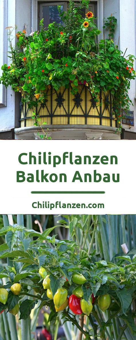 pflegeleichte Zimmerpflanze Wintergarten Terrasse Balkon Samen  MARACUJA