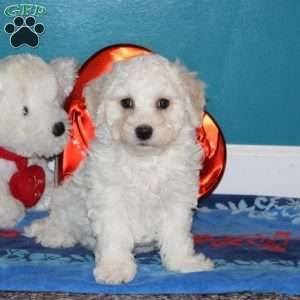 Bichon Frise Puppies For Sale Greenfield Puppies In 2020 Bichon Frise Puppy Bichon Frise Puppies
