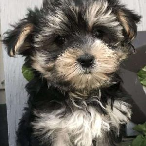 Morkie Puppies For Sale Yorktese Puppies Greenfield Puppies