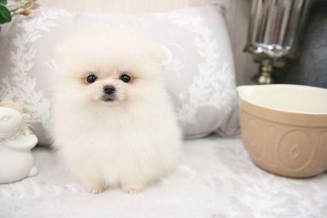 Pomeranian Puppy For Sale In San Jose Ca Adn 70450 On