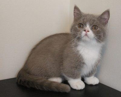 Information And Pictures About Minuets Or Napoleon Cats Minuet Or Napoleon Kittens Offered For Sale By Breeder Of A Small In Home Cattery Napoleon Cat Kitten