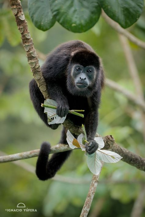 Pin By Mary Coln On Monos Gorillas Howler Monkey Costa Rica Wildlife Animals