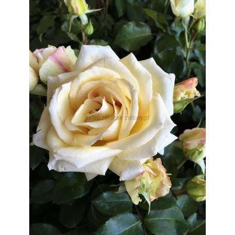 Roza Pnaca Snow Mount C5 Flowers Plants Rose