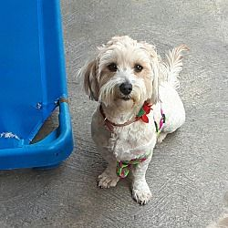 San Diego Ca Coton De Tulear Meet Lizzy A Dog For Adoption With Images Dog Adoption Coton De Tulear Pet Adoption