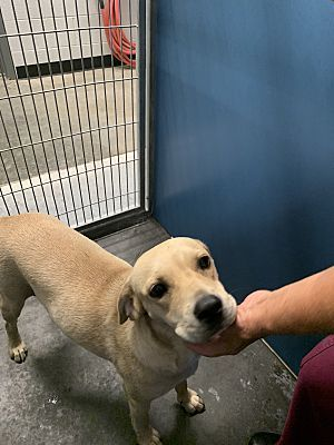 7 21 19 Act Quickly Henderson Nc Labrador Retriever Meet Mocha A Pet For Adoption Breed Labrad Labrador Retriever Labrador Pet Adoption