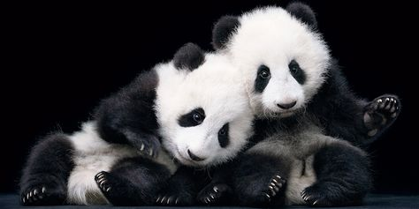 Baby Giant Pandas by Tim Flach.