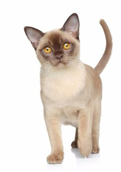 Burmese A Breed Descended From A Cat Called Wong Mau Who Was Brought To The United States In 1930 Catbreeds Burmese Cat Cat Breeds Tonkinese Cat