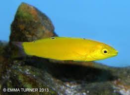 Yellow Coris Wrasse Wrasse Reef Aquarium Fish Pet
