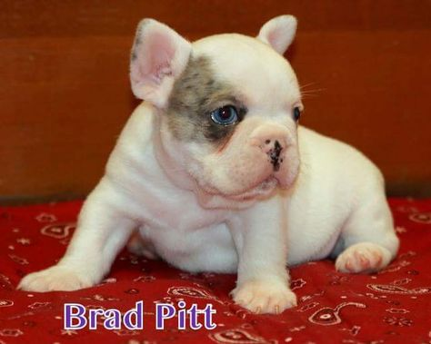 Litter Of 3 French Bulldog Puppies For Sale In Corona Ca Adn
