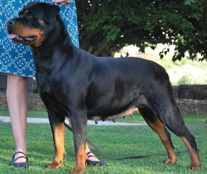 Rottweiler Our Breeding Programs Offers Rottweiler Puppies For
