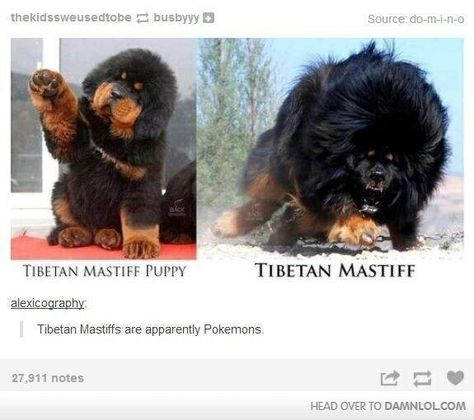 Funny pictures about Tibetan Mastiff Evolution. Oh, and cool pics about Tibetan Mastiff Evolution. Also, Tibetan Mastiff Evolution photos. Giant Dog Breeds, Giant Dogs, Cute Funny Animals, Funny Cute, Hilarious, Stupid Funny Memes, Funny Posts, Funny Stuff, Funny Things