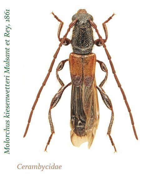 Cerambycidae おしゃれまとめの人気アイデア Pinterest Aurelio Crespo カミキリムシ